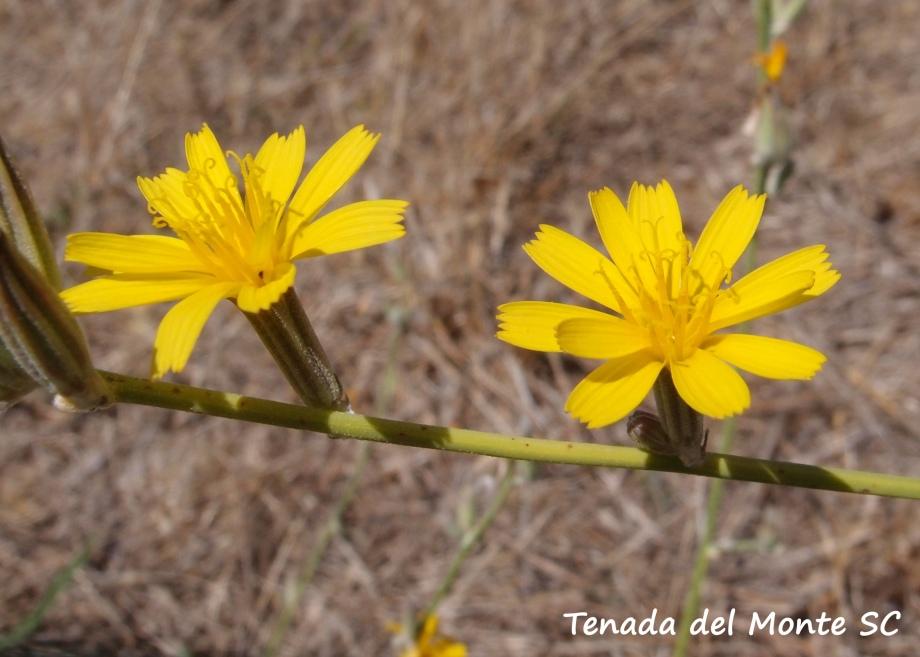 Flores de Chondrilla juncea