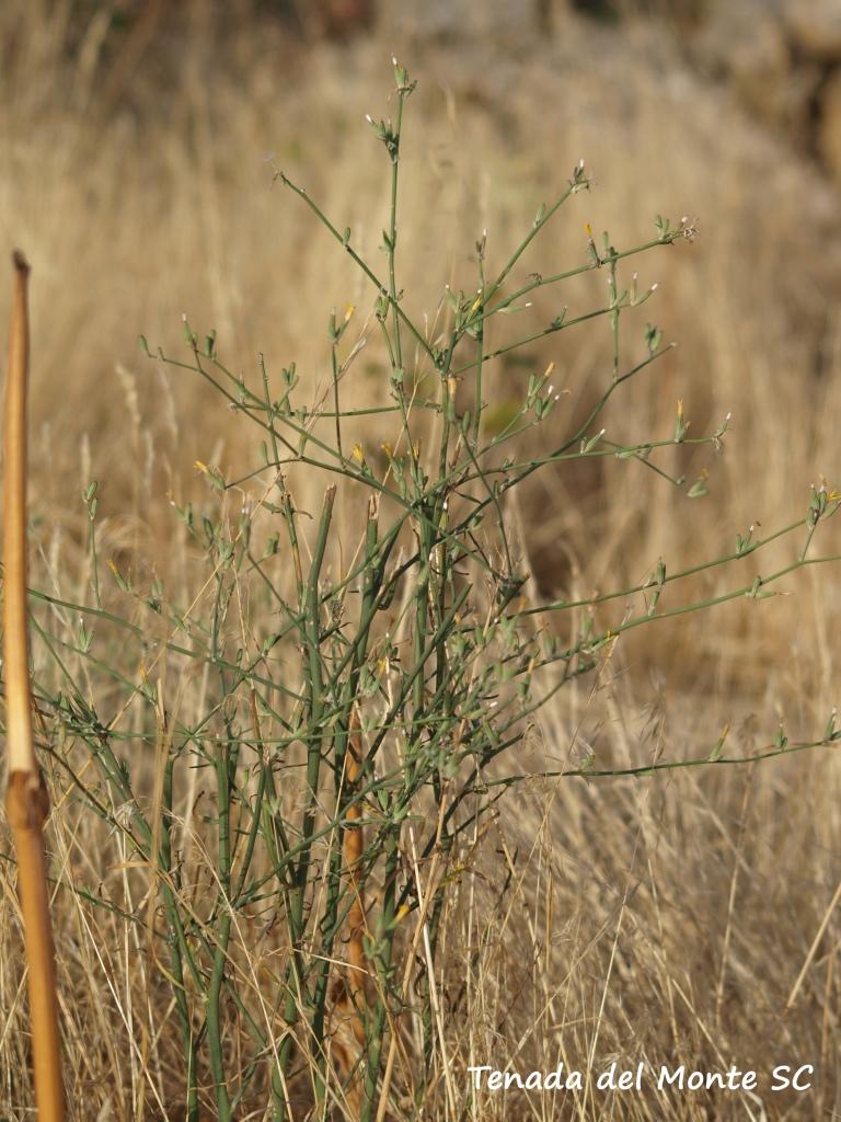 Planta de Chondrilla juncea